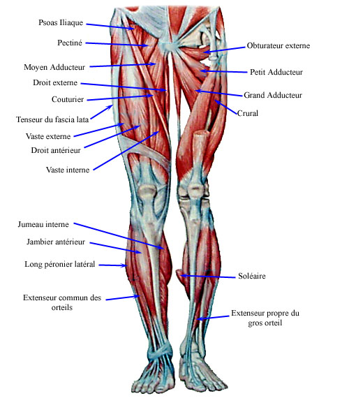 muscles-jambes